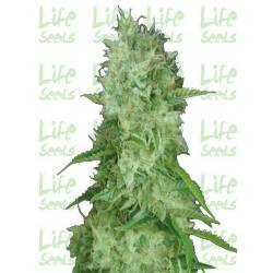LifeSeeds - Auto Cheese