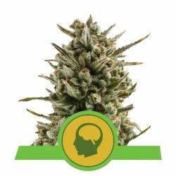 Royal Queens Seeds - Amnesia Haze Automatic